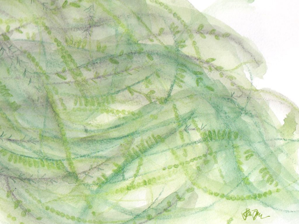 seaweed illustration 01 by Penina S Finger